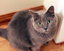Свіже дослідження про поширення SARS-CoV-2 домашніми кішками